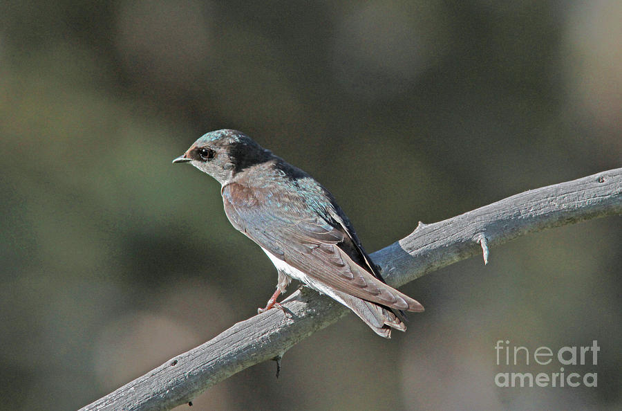 Tree Swallow Photograph - Female Tree Swallow by Gary Wing
