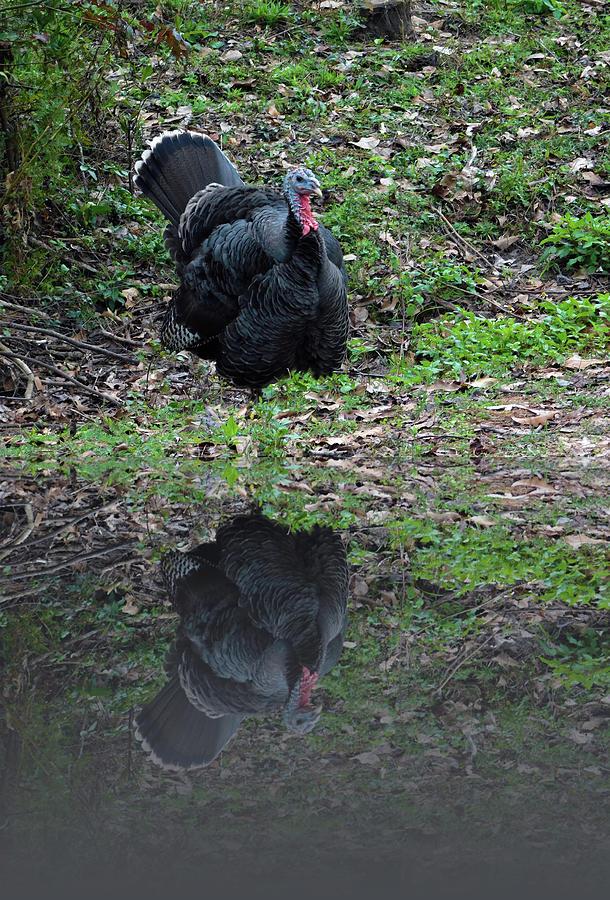 Female Turkey Reflection by Carl Moore