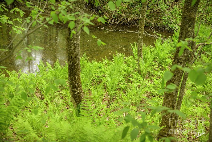 Ferns Along Stream Photograph