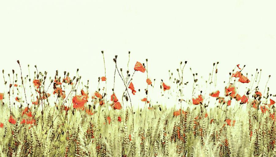 Field Of Coral Poppies Digital Art
