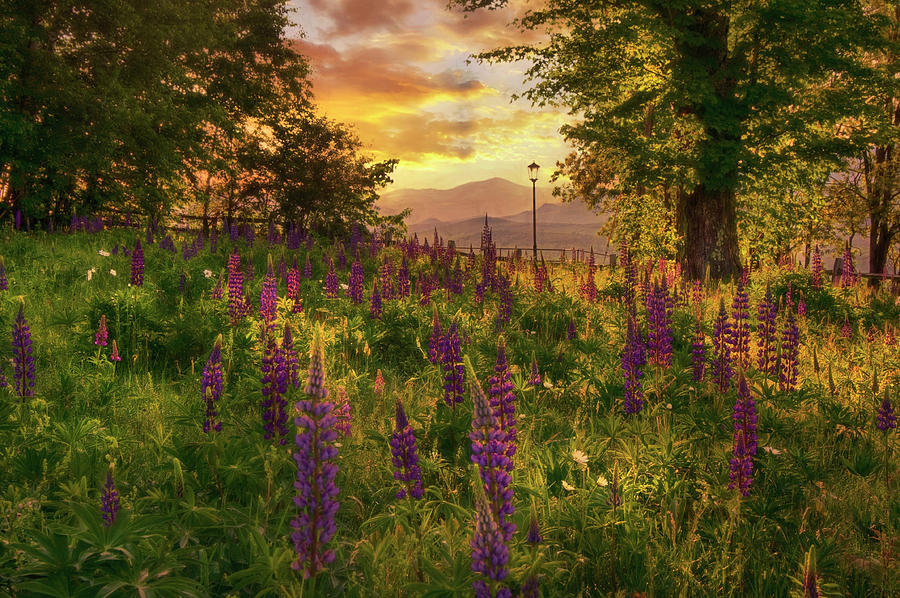 Field Of Lupin Dreams Photograph