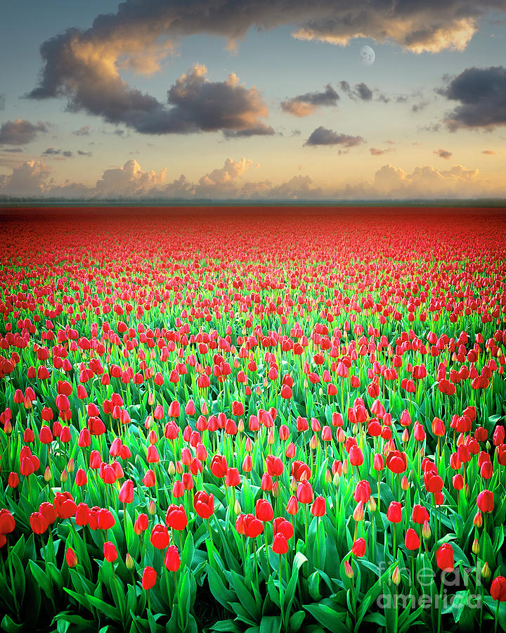 Field of Tulips by Edmund Nagele