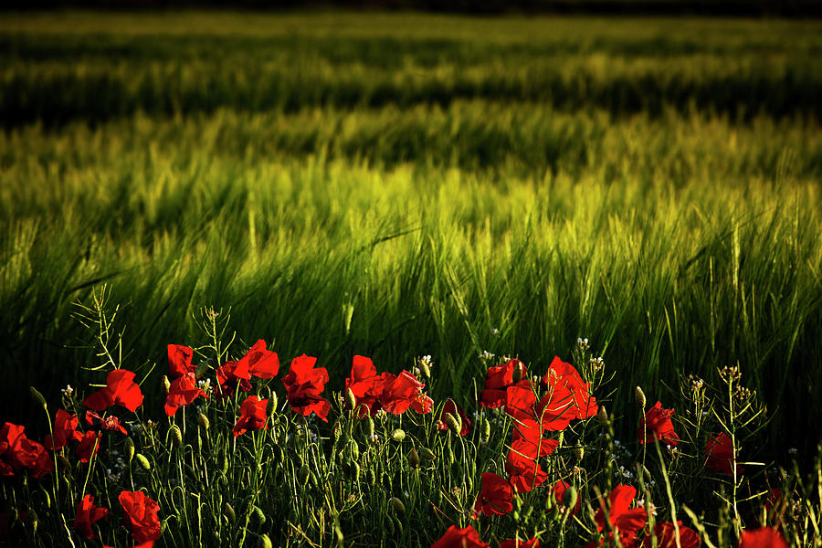 Agriculture Photograph - Fields And Poppies by Vicente Sargues