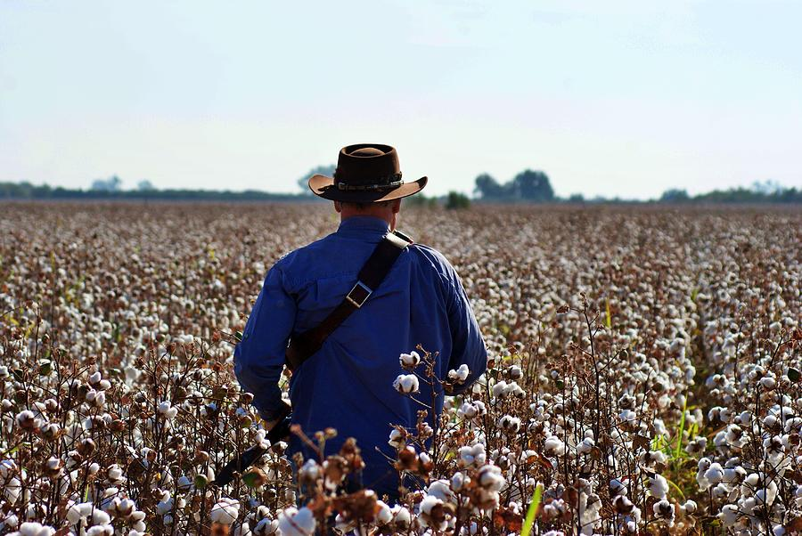 Fields Of Cotton Photograph