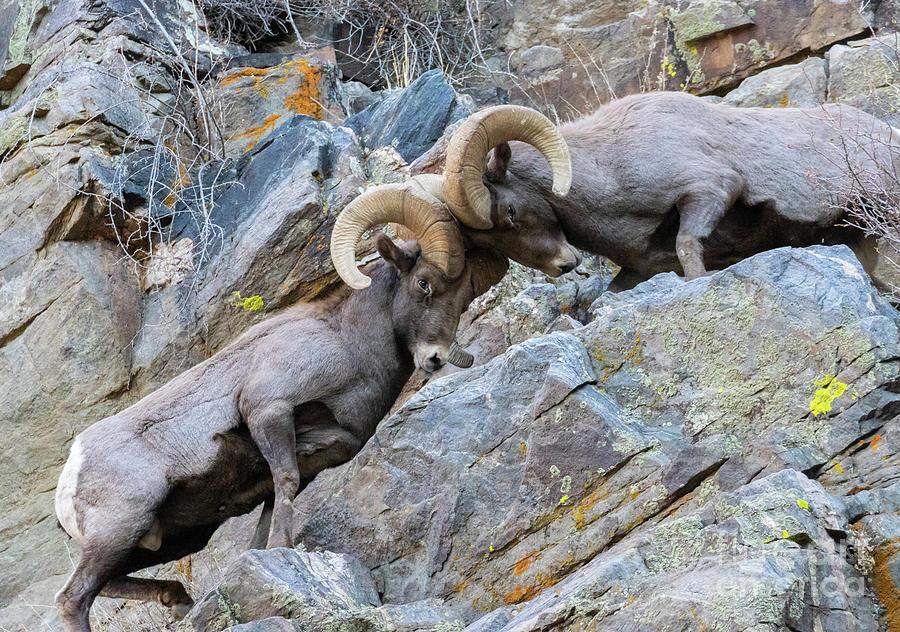 Fighting Bighorn Sheep Waterton Photograph