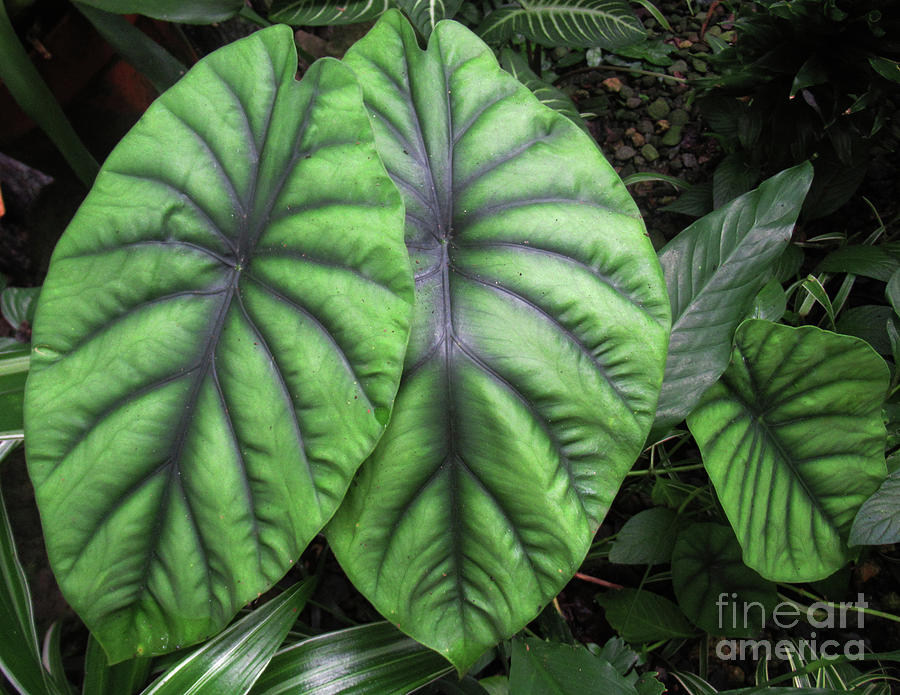Fiji Elephant Ears 2 Photograph By Randall Weidner