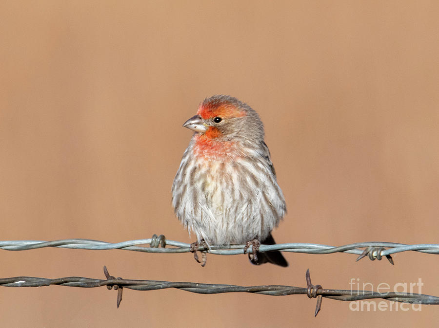 Finch on a Wire by Mike Dawson