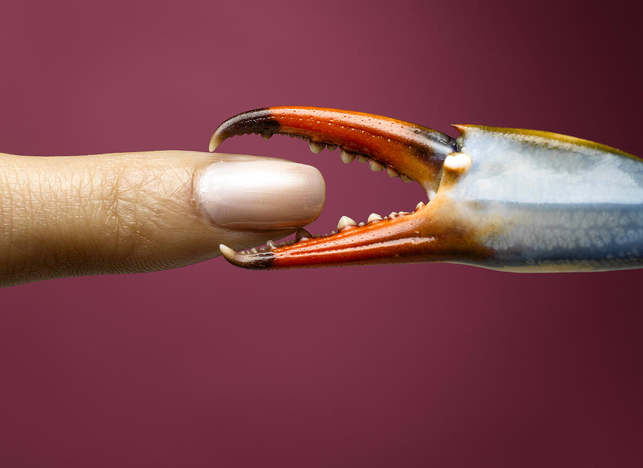 Finger being pinched by blue crab claw Photograph by Jeffrey Hamilton
