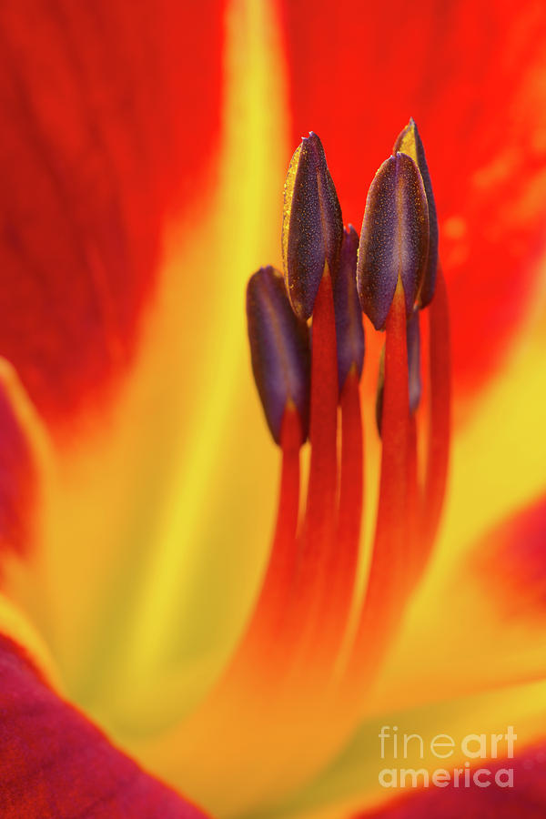 Anther Photograph - Fired Up by Steven Dillon