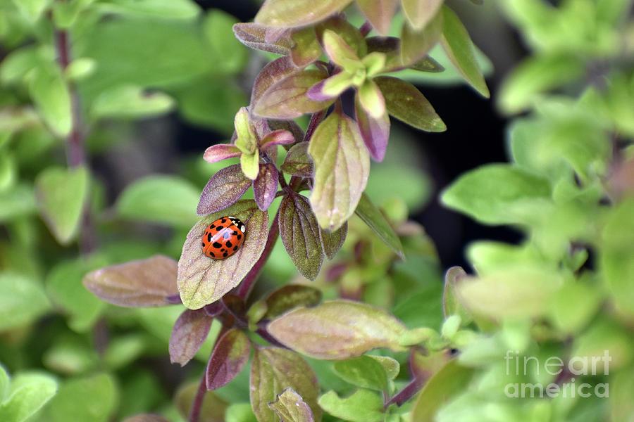 Ladybug Photograph - First Ladybug of the Spring on Italian Oregano Plant by Rose De Dan