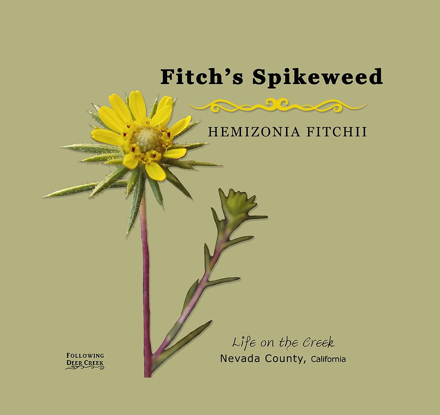Fitch's Spikeweed Hemizonia Fitchi by Lisa Redfern