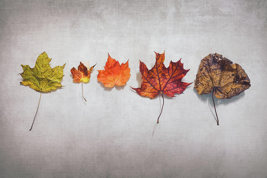 Five Autumn Leaves Photograph