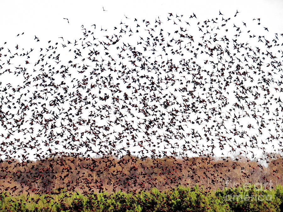 Five Hundred Blackbirds by Scott Cameron