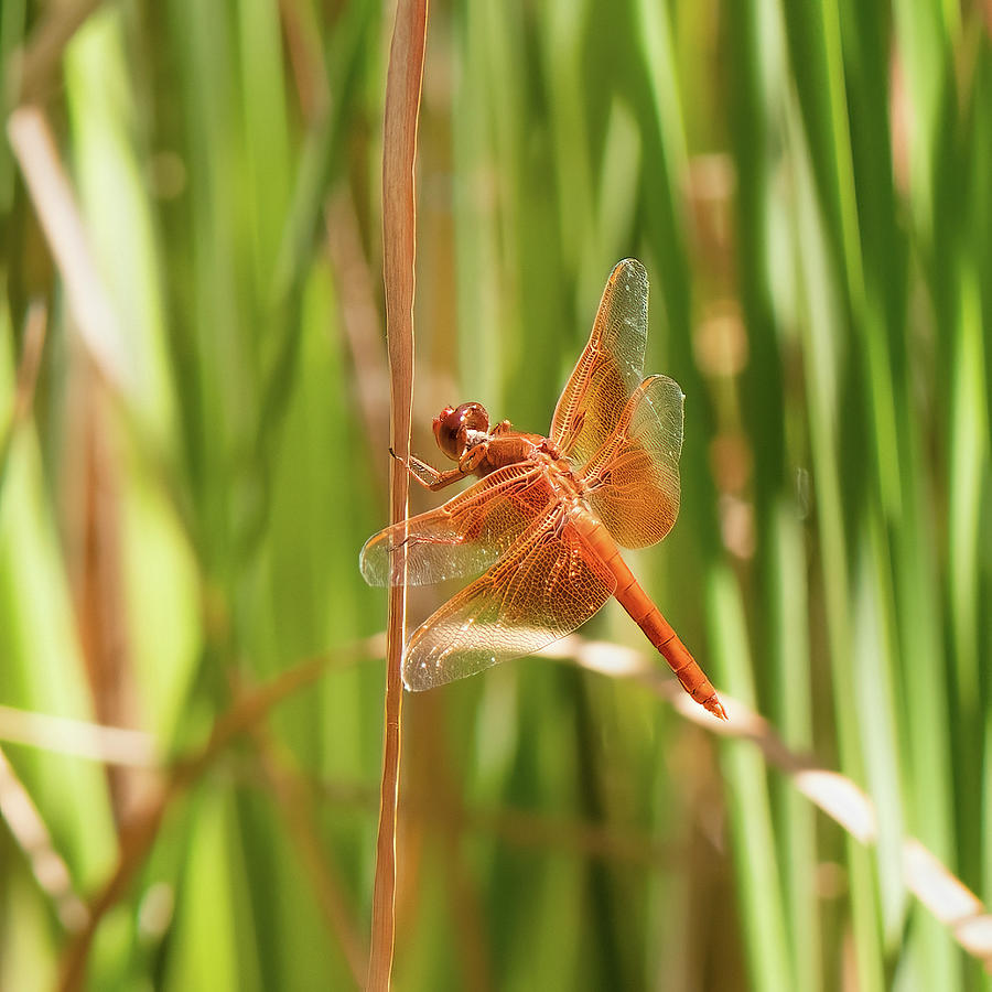 Flame Skimmer Dragonfly Photograph
