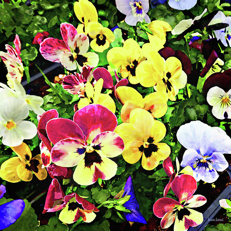Flat of Pansies Mixed Colors by Susan Savad