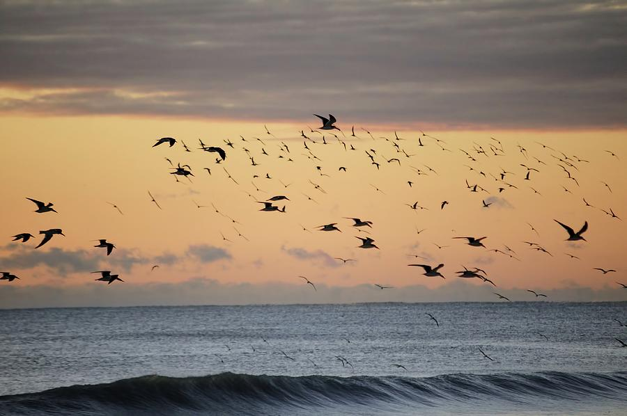 Flock of black Skimmers and Ocean by Bradford Martin