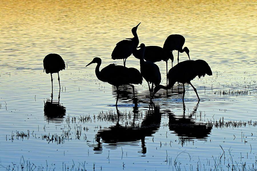 Flock Of Cranes At Bosque Photograph