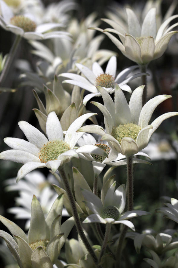 Australian Native Photograph - Flock of Flannel Flowers by Siene Browne