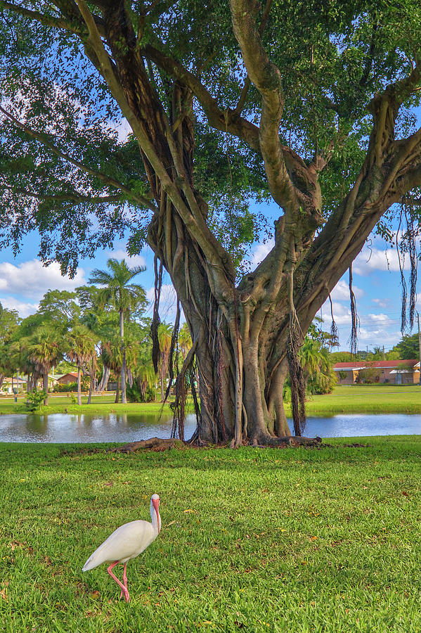 Florida Banyan Tree by Juergen Roth