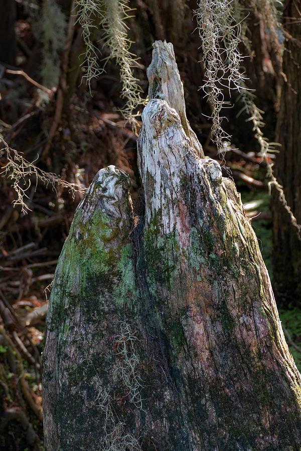 Florida Cypress Knees by Margaret Zabor