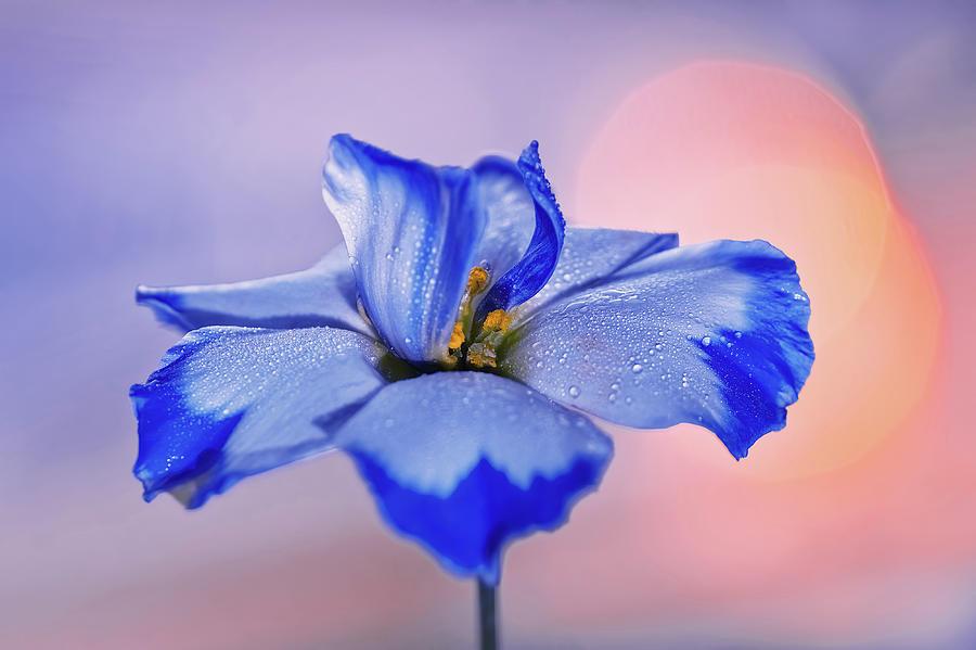 Flower Eustoma Photograph