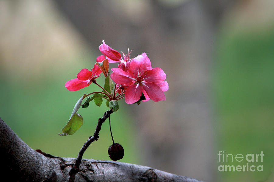 Flower Photograph - Flowering Crab Apple by Gary Wing
