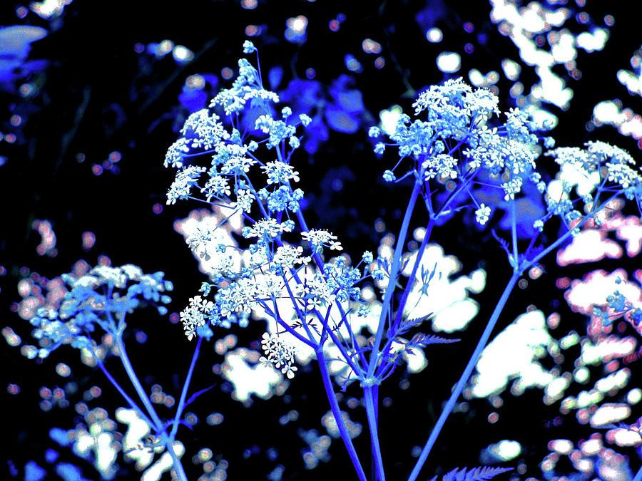 Flowers blue white on a black background by Patricia Piotrak