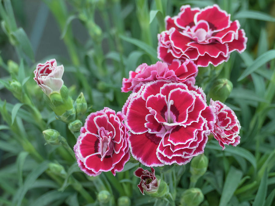 Flowers Carnation Dianthus Caryophyllus Photograph by David Jalda