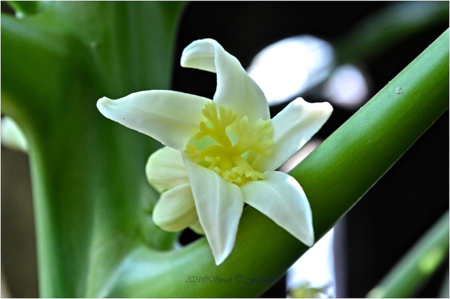 Flowers  Of Papaya Photograph