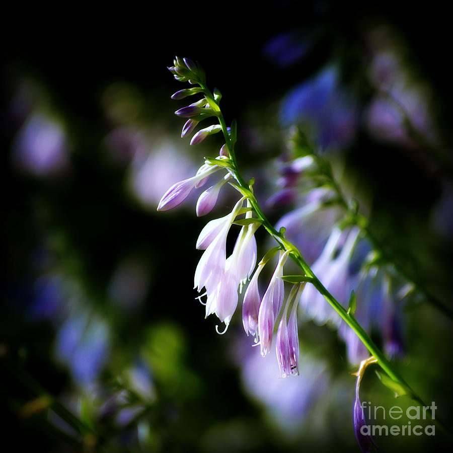 Flowers Photograph - Flowers Purple and Sunlight - square by Frank J Casella