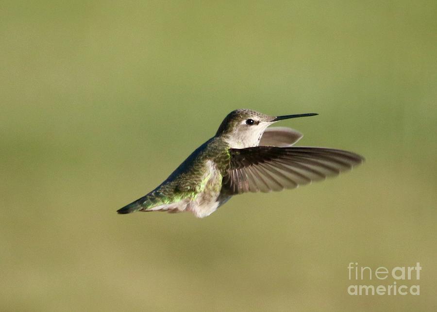 Fluffy Hummingbird Photograph