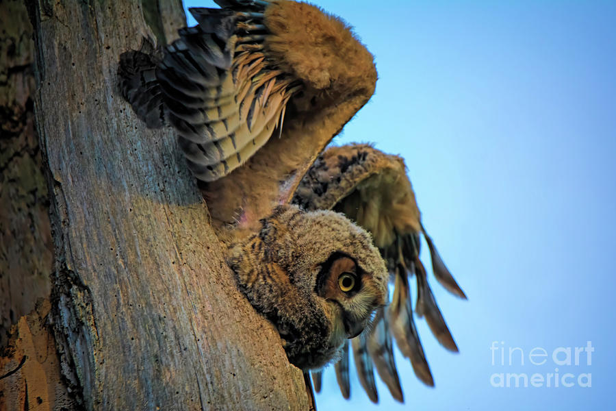 Owlet Photograph - Fly Away by Gaby Swanson