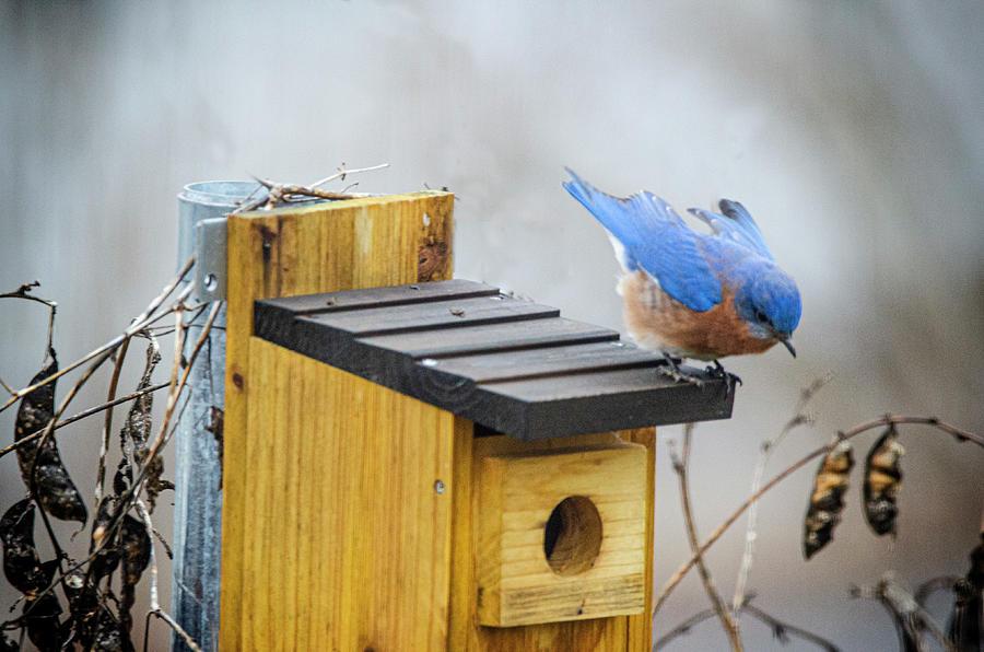 Bluebird Photograph - Fly Away by Jim Cook