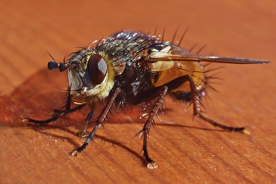 Fly macro photography Photograph by Tunatura