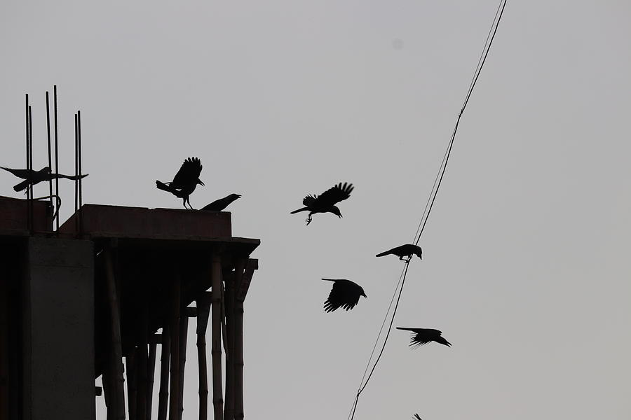 Flying Crows Photograph