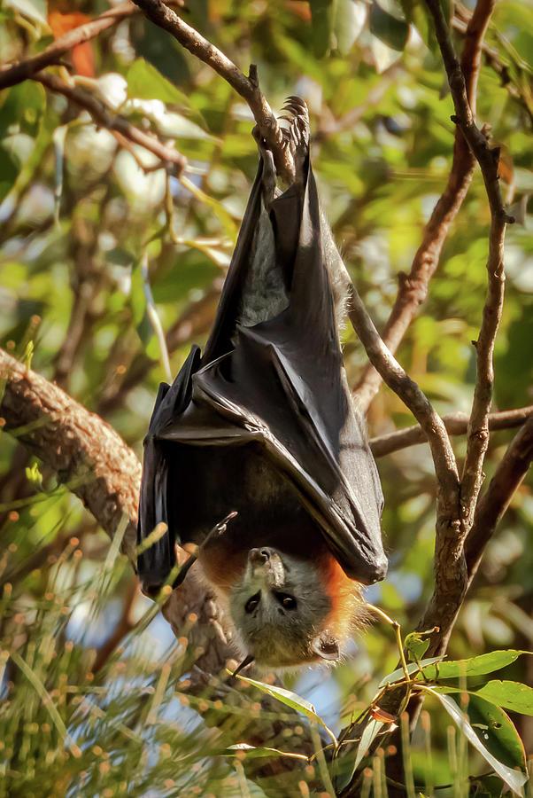 Australia Photograph - Flying Fox by Chris Cousins