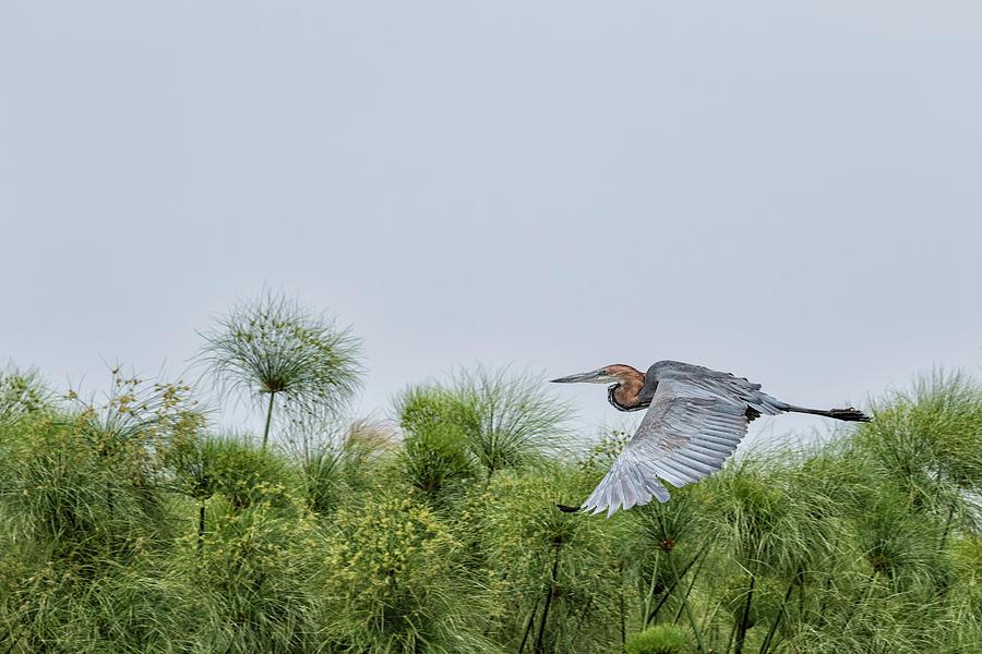 Flying Giant Heron Photograph