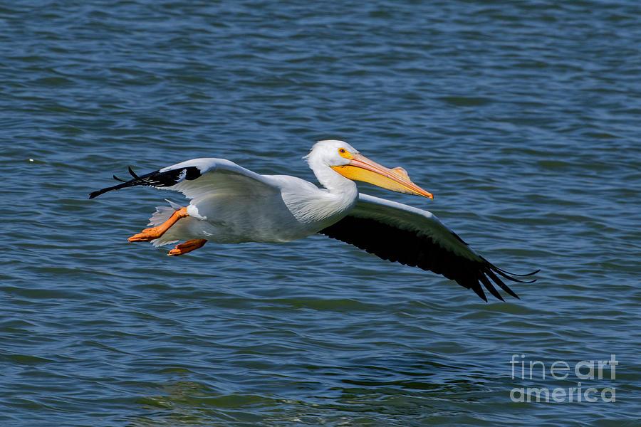 Flying Pelican 2 Photograph