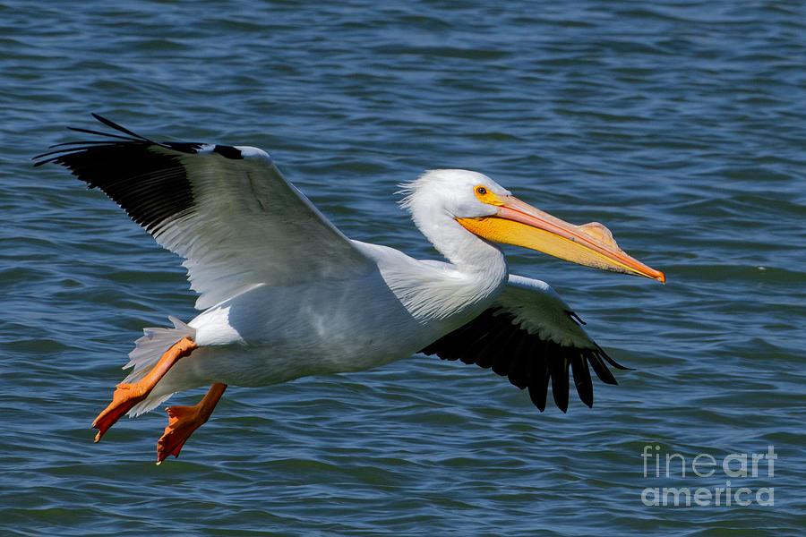 Flying Pelican 3 Photograph