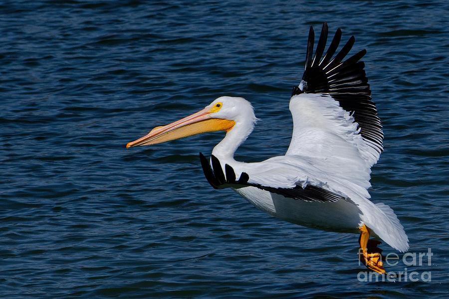 Flying Pelican 5 Photograph