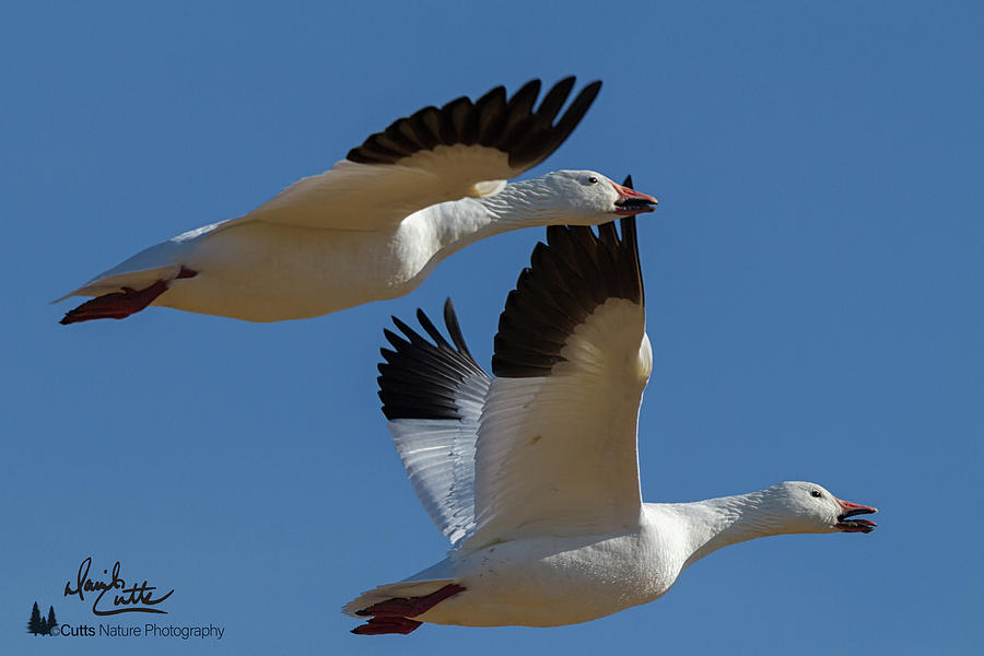 Flying Snow Geese by David Cutts