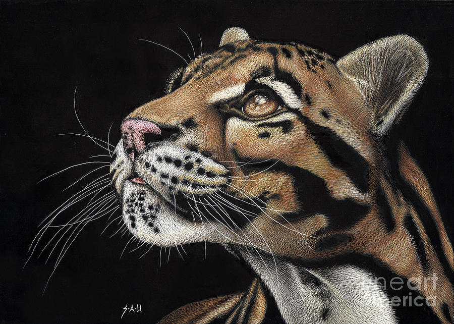 Clouded Leopard Drawing - Focus by Sheryl Unwin