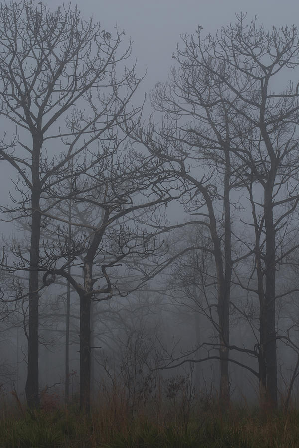 Fog in the forest by Zina Stromberg