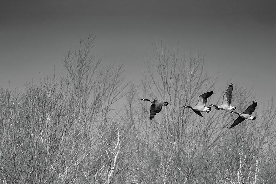 Follow the Leader - Canada Goose - Branta canadensis by Spencer Bush