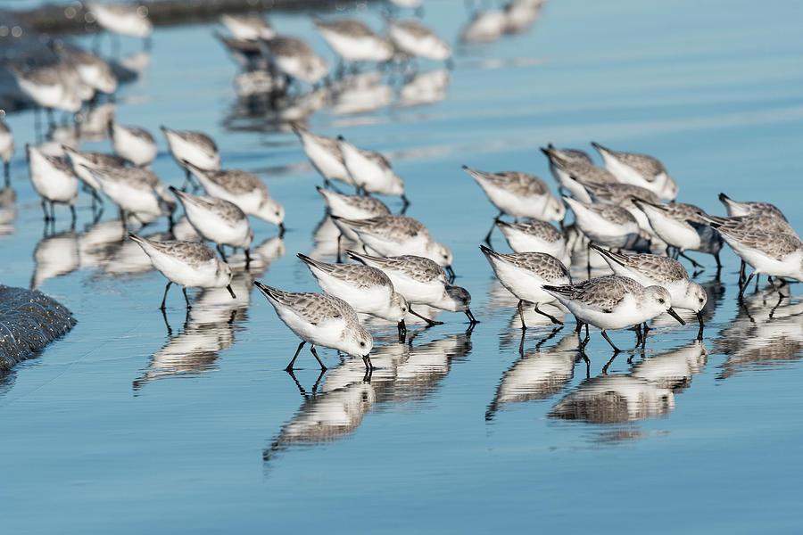Foraging Sanderlings by Robert Potts