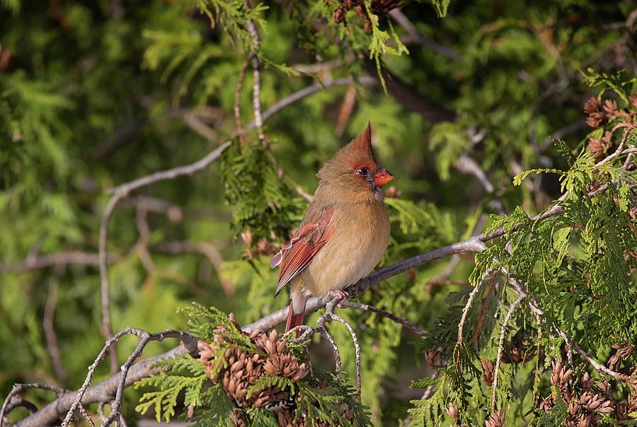 Forest Belle - Female Northern Cardinal - cardinalis cardinalis by Spencer Bush