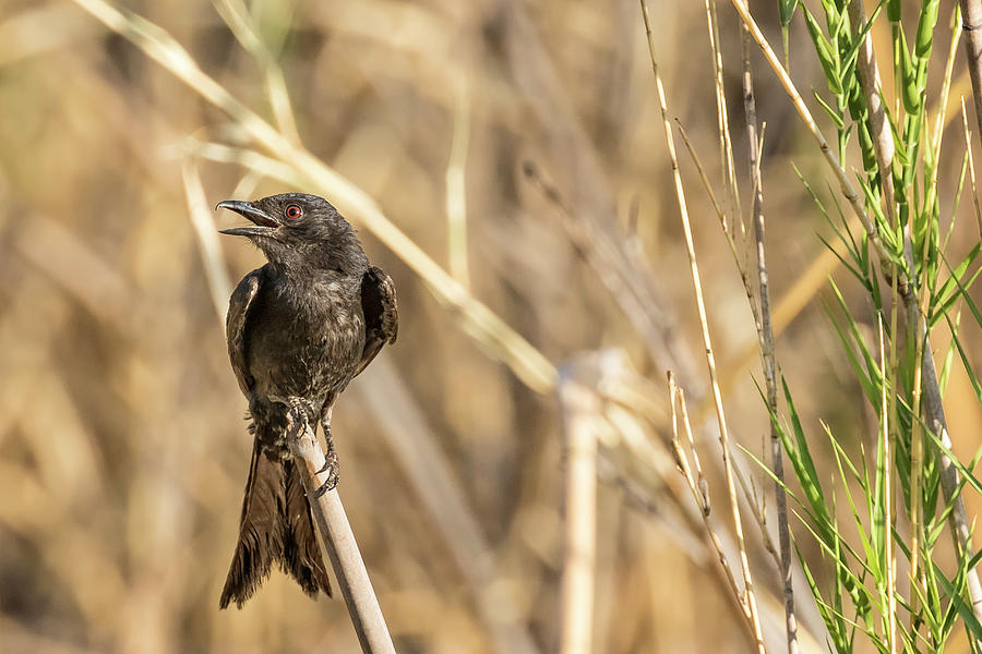 Fork-tailed Drongo, No. 1 by Belinda Greb