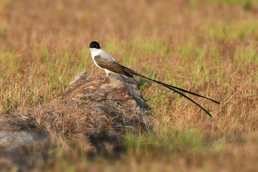 Fork-tailed Flycatcher by Alan Lenk