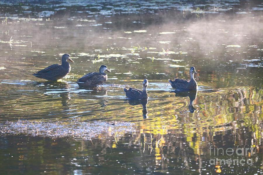Four Ducks on Misty Pond by Carol Groenen