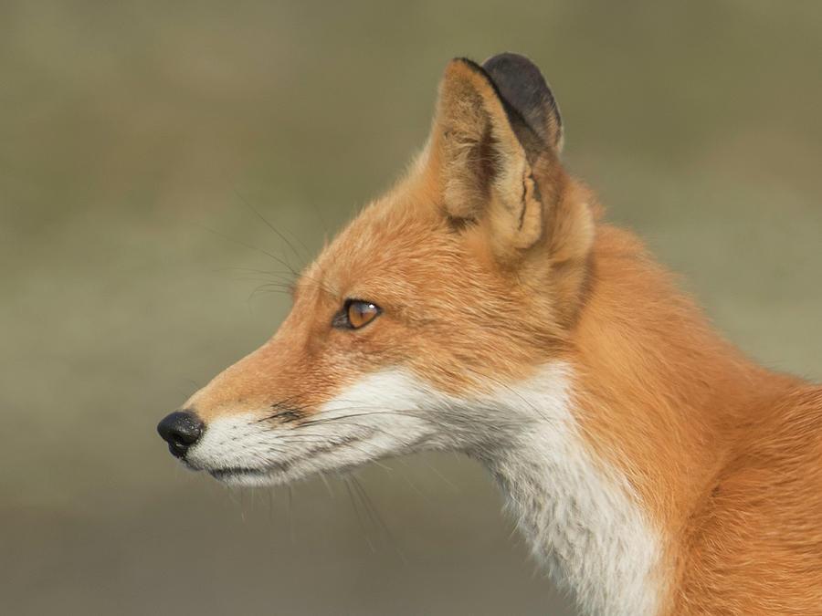 Red Photograph - Fox #3 by Ken Weber